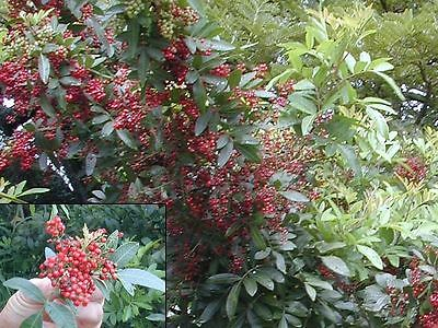 Red Peppercorn Seeds - Baies Rose - Rare - theseedhouse - 50+ Organic Seeds