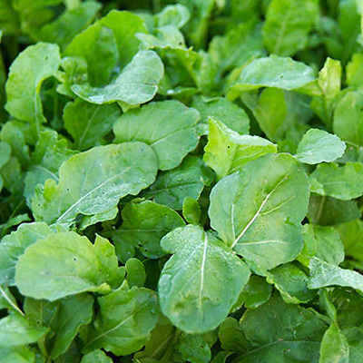Arugula Astro Seeds - Hearty Annual Green - HEALTH BENEFITS  - 50 Seeds