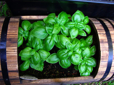 Basil Seeds - SWEET - Popular Herb for Flavoring - MEDICINAL HERB - 50+ Seeds