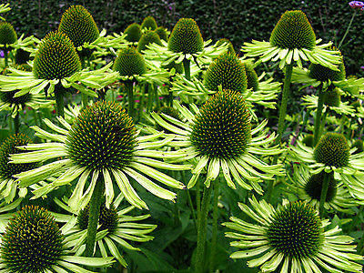 Echinacea Purpurea Seeds -  GREEN JEWEL - RARE VARIETY - Fragrant - 15 Seeds