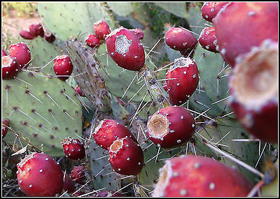 Prickly Pear Cactus Seeds - OPUNTIA - Cactus Pad - Edible Fruit - 20 Seeds