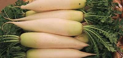 Radish Seeds - DAIKON WHITE - Rare and Unusual - theseedhouse  - 100+ Seeds