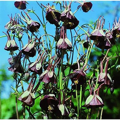 Columbine Seeds - CHOCOLATE SOLDIER - Winter Hardy Heirloom - 10 Seeds