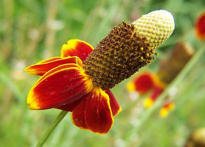 Mexican Hat Seeds - Prairie Coneflower - Drought Tolerant - 50+ Flower Seeds