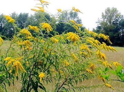 Golden Baby Goldenrod Seeds -  Solidago Canadensis - Attracts Bees - 50+ Seeds