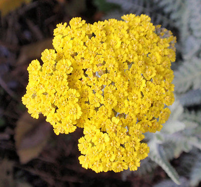 GOLDEN YARROW - Abundant Widespread Perennial Shrub - Drought Tolerant- 50 Seeds