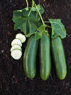 Cucumber Seeds - MERCURY - Sweet,Crisp Flavor - Heirloom - 50 Fresh Seeds