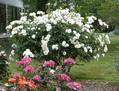 Climbing Rose Seeds - WHITE ICEBERG - Winter Hardy - theseedhouse - 10 Seeds