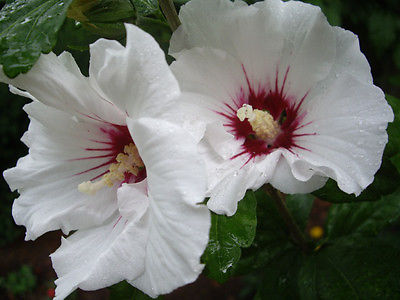 Rose of Sharon Seeds - White Satin - Winter Hardy Flowering Shrub -  25 Seeds